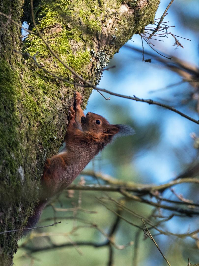 Eichhörnchen in der Senne