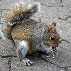 Eichhörnchen in Kapstadt gesehen