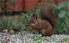 Eichhörnchen in Lappland