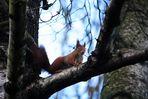 Eichhörnchen IV
