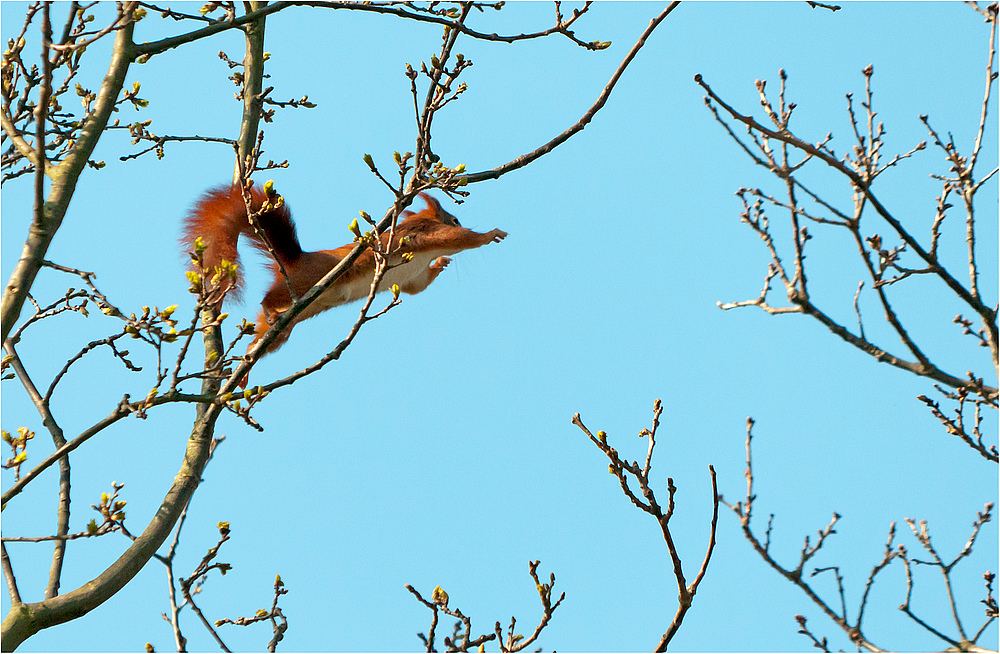 Eichhörnchen-jumping