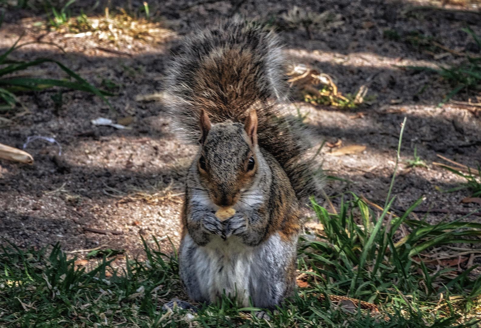 Eichhörnchen. Kapstadt, Südafrika.