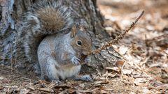 Eichhörnchen Kopie
