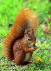Eichhörnchen-Makro