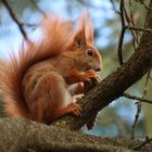 Eichhörnchen mit dem Fichtenzapfen