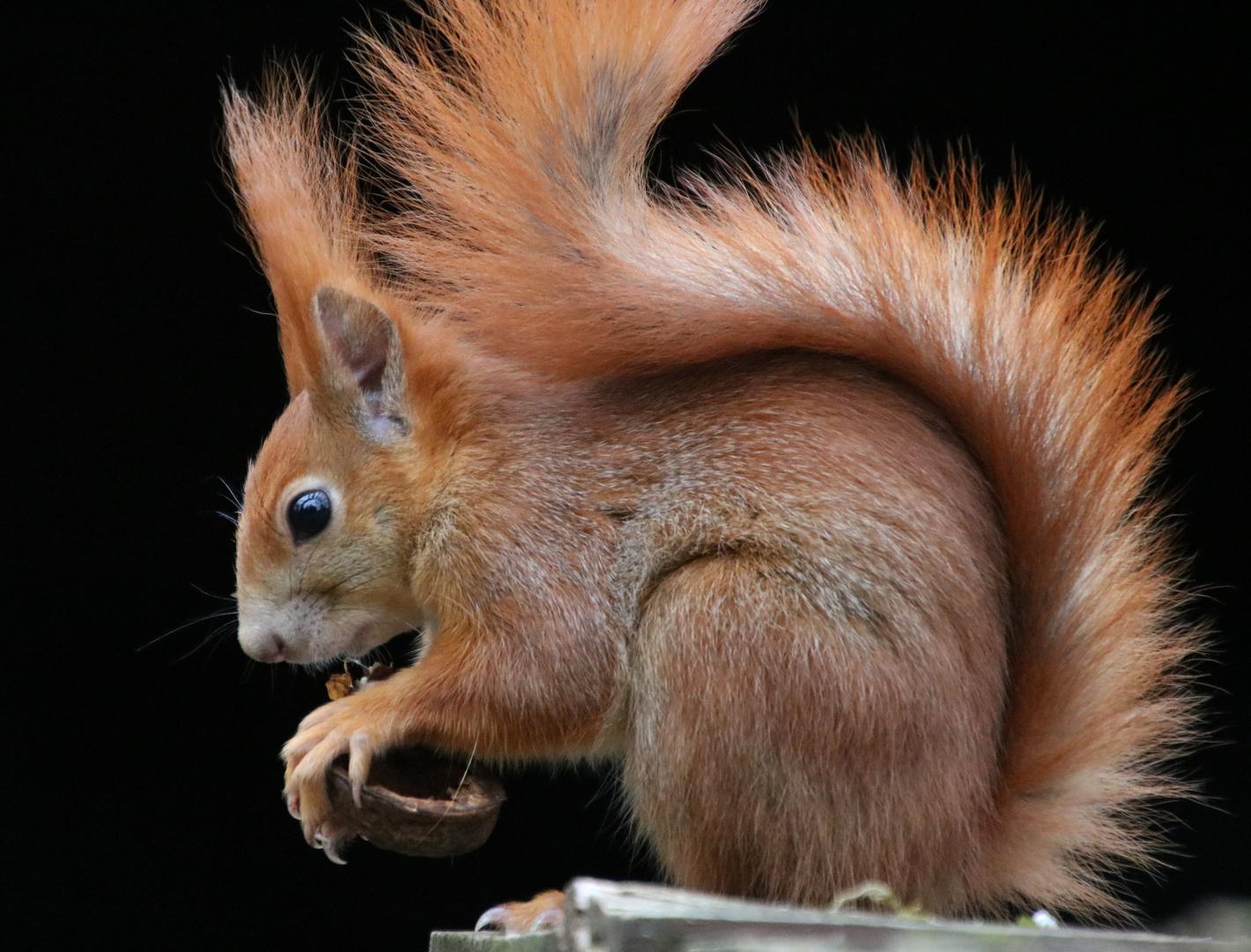 Eichhörnchen mit der Walnuss 1.