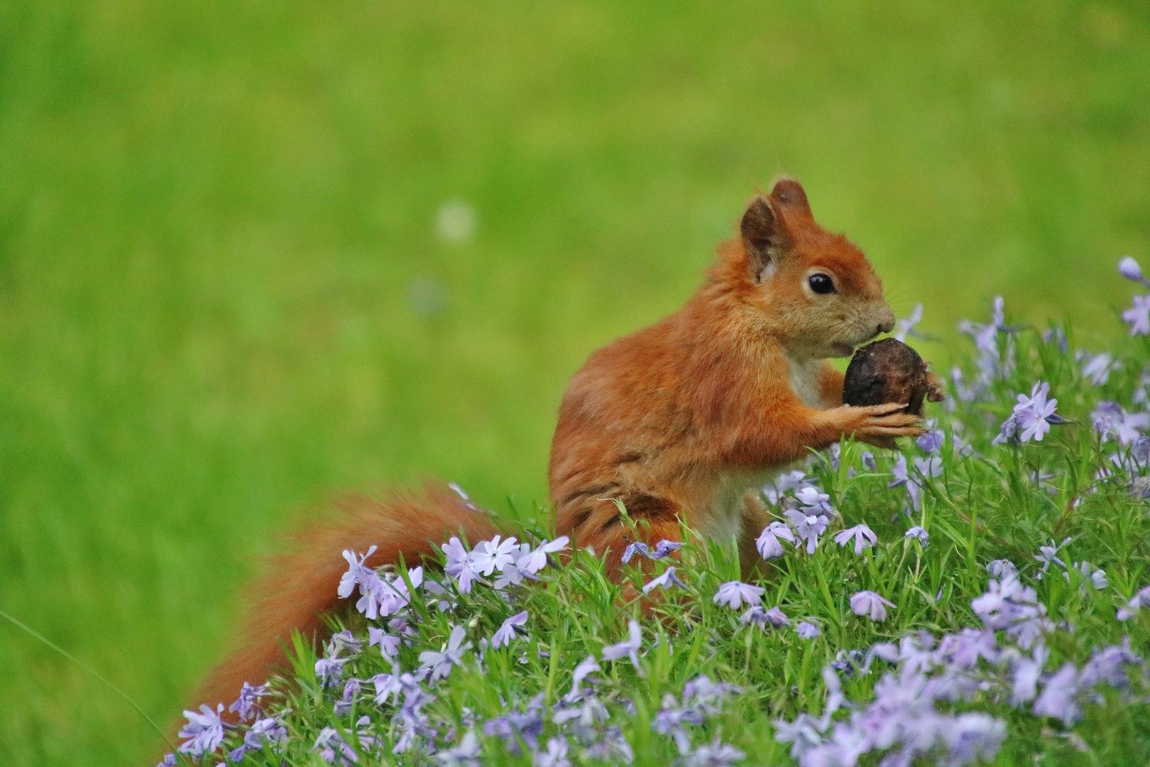 Eichhörnchen mit der Walnuss 2.