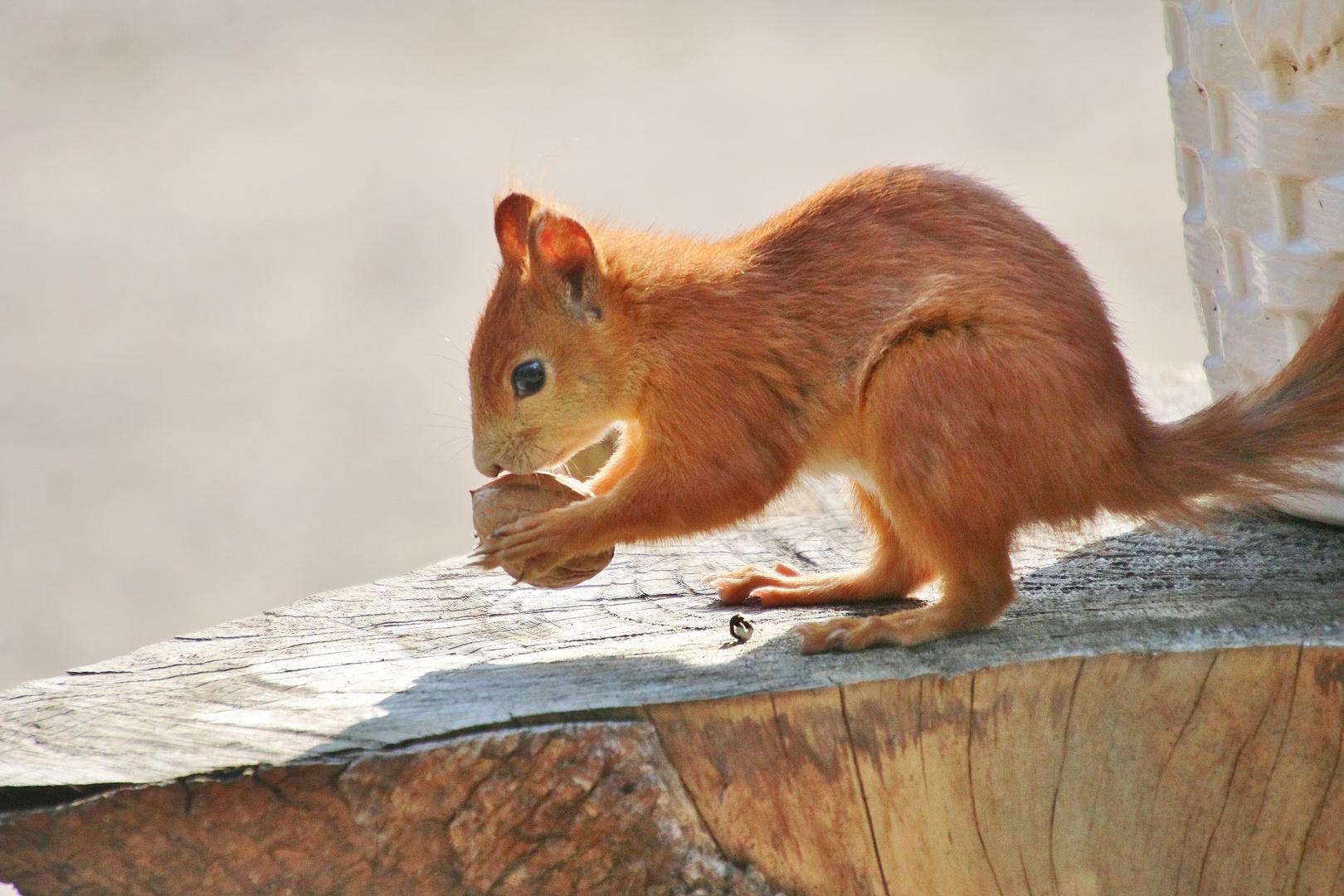 Eichhörnchen mit der Walnuss 3.