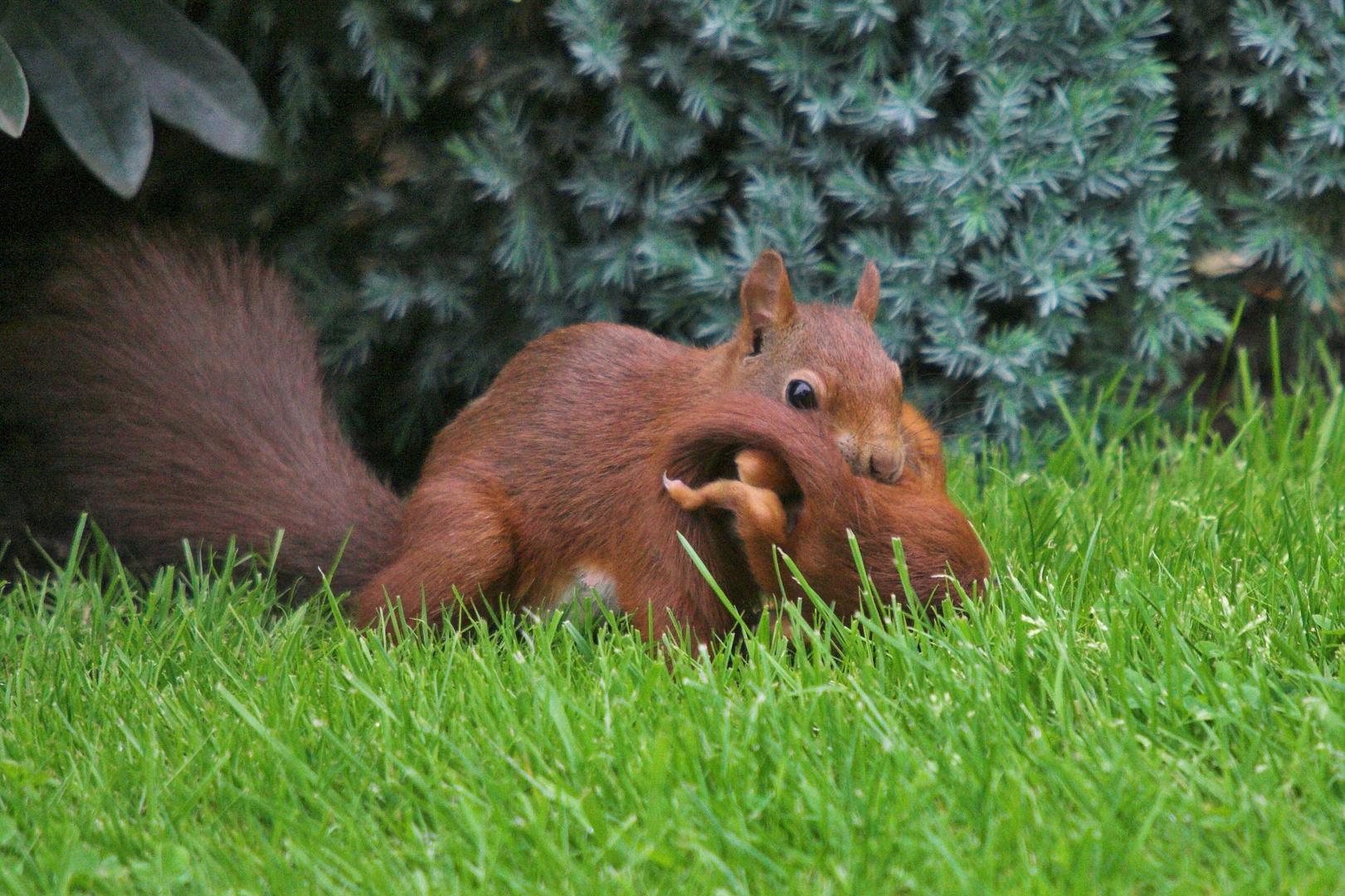 eichhörnchen mit junges foto & bild   tiere, wildlife