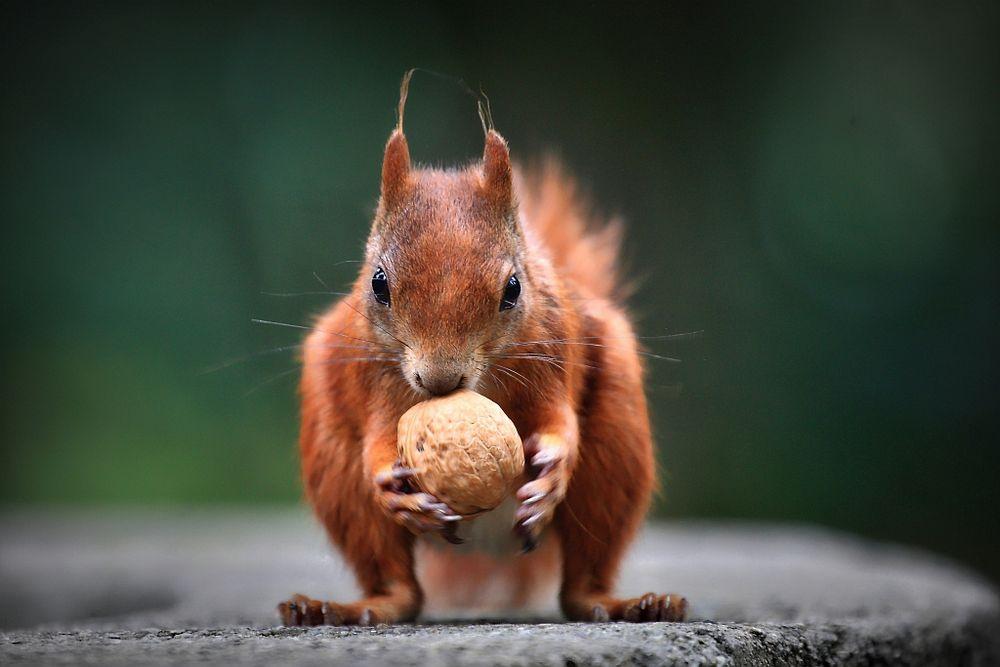 eichhörnchen mit nuss foto & bild   eichhörnchen, natur
