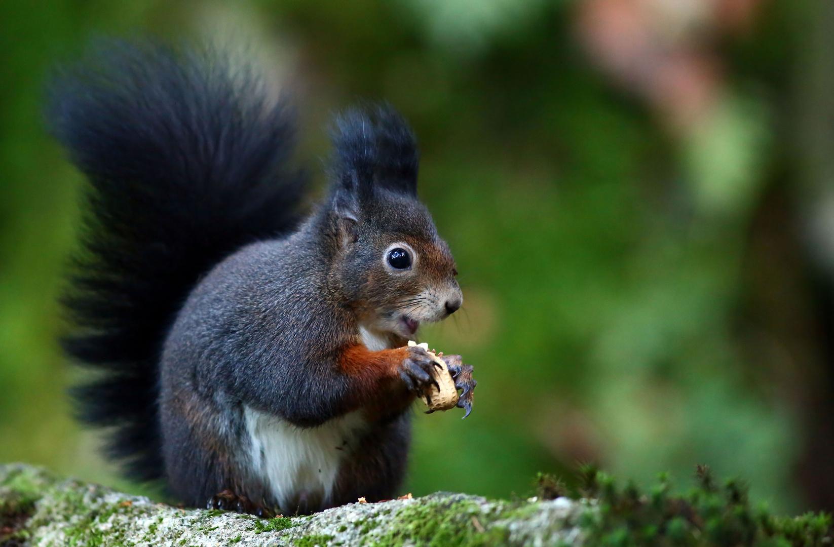 eichhörnchen mit nuss foto  bild  tiere wildlife