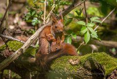 Eichhörnchen - Muttertag