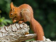 Eichhörnchen oder Frechdachs