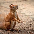 Eichhörnchen (Sciurus)