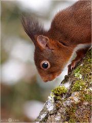 Eichhörnchen - Sciurus vulgaris