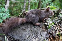 Eichhörnchen (Sciurus vulgaris) in den Bergen.