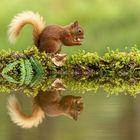 Eichhörnchen, Sqirrel
