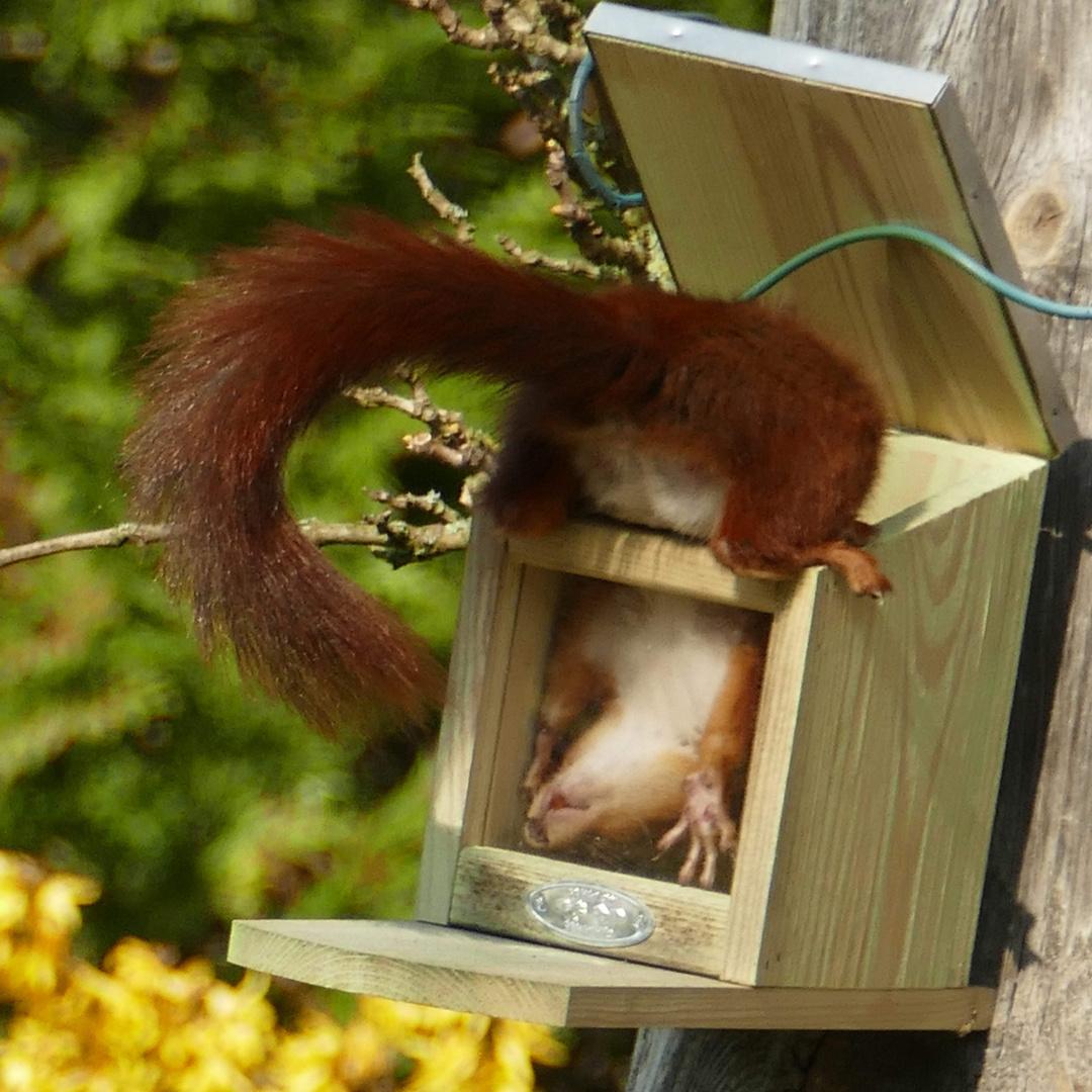 eichhörnchen sucht nach der letzten nuss foto  bild