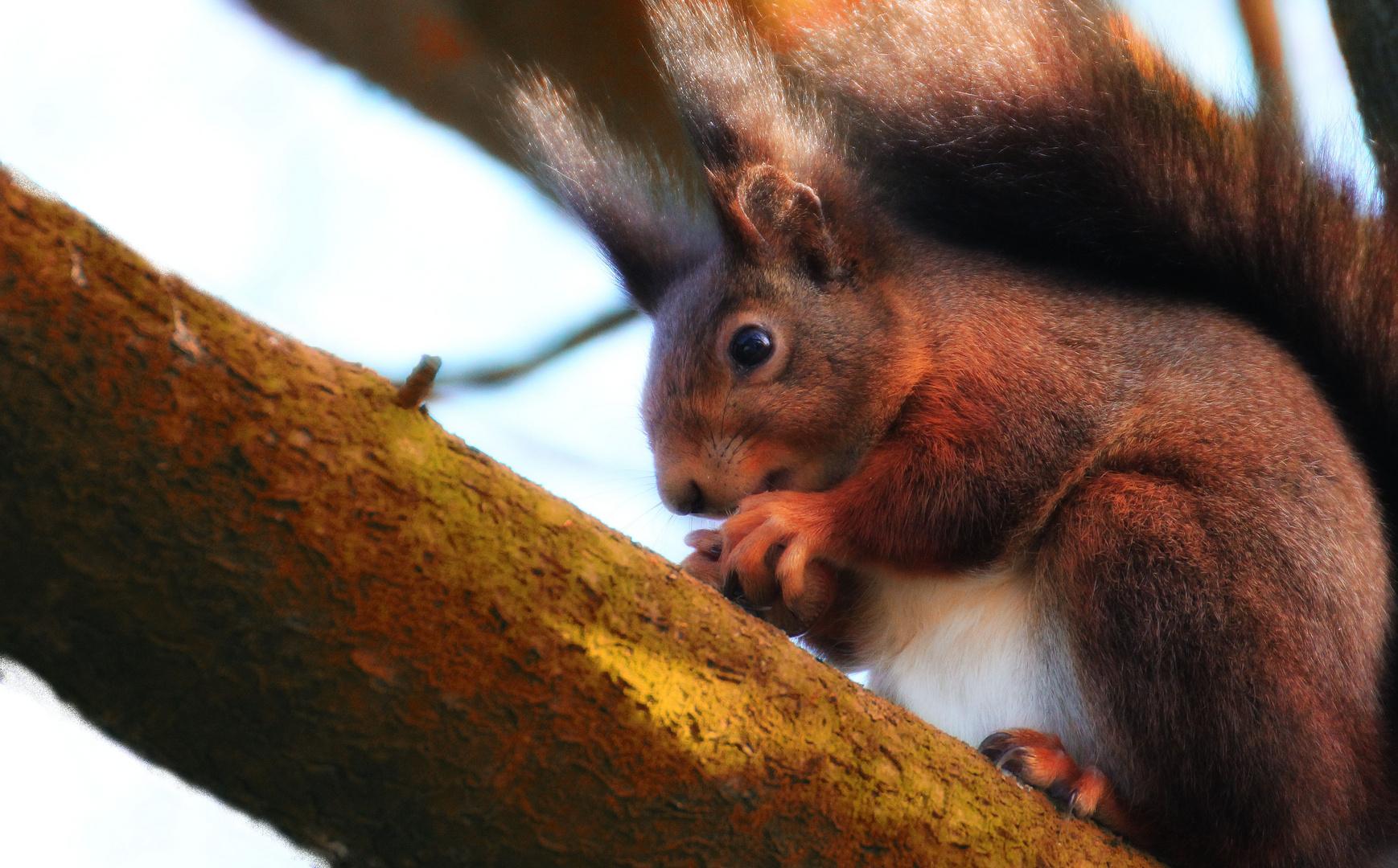 Eichhörnchen und Chromatische Aberration