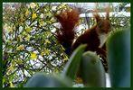 Eichhörnchen vor meinem Fenster mit Winterjasmin - Jasminum nudiflorum