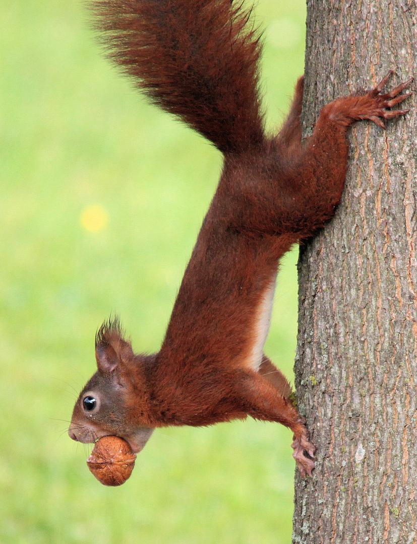 Eichhörnchen, Walnuss,jpg