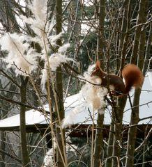 Eichhörnchen: Weiter auf der Suche nach Nistmaterial