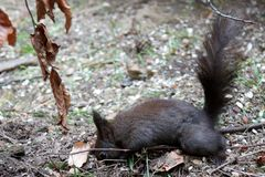 Eichhörnchen - Wo ist die Nuss?