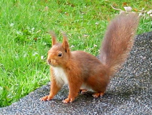 Eichhörnchen#2