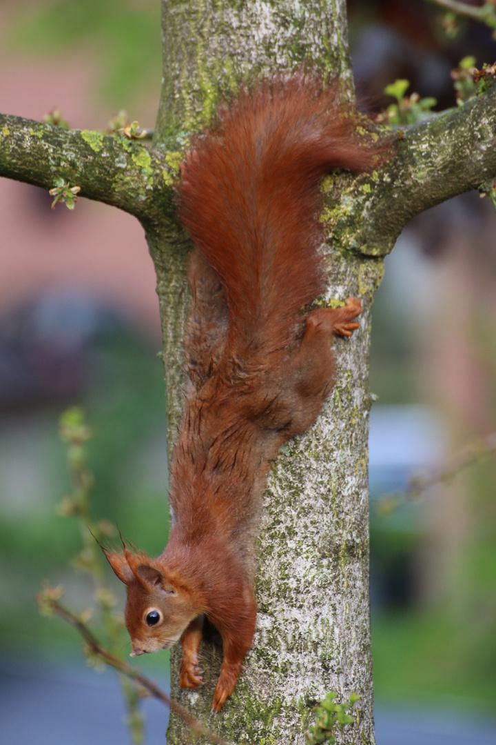 Eichhörnchen_am_Ginko_Baum
