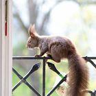 Eichhörnchendame
