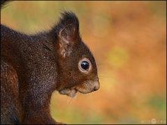 Eichhörnchenportrait