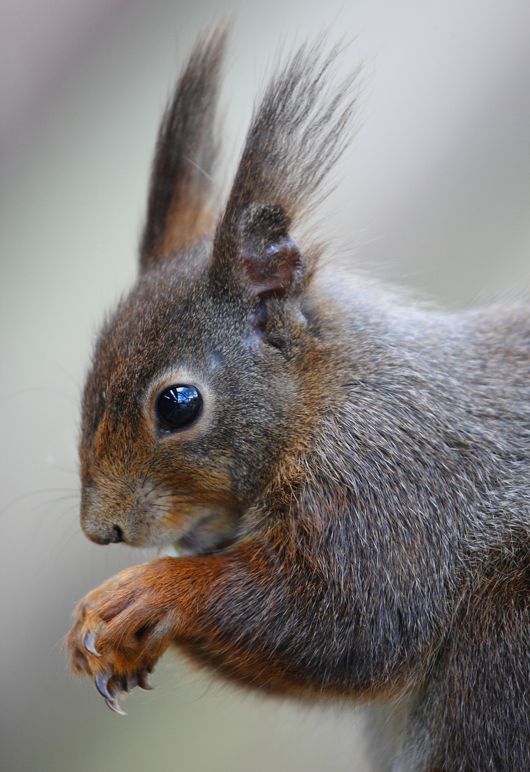 Eichhörnchenportrait Ostersonntag