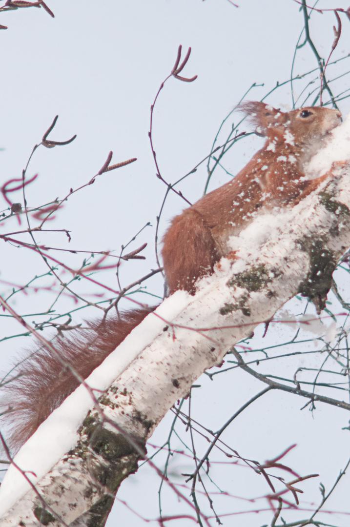 Eichhorn auf der Flucht im Schnee