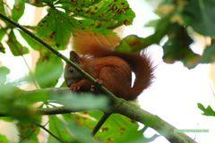 Eichschörnchen 2