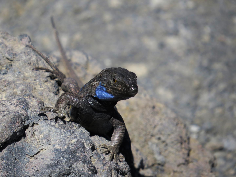 Eidechse auf der Kanareninsel La Palma
