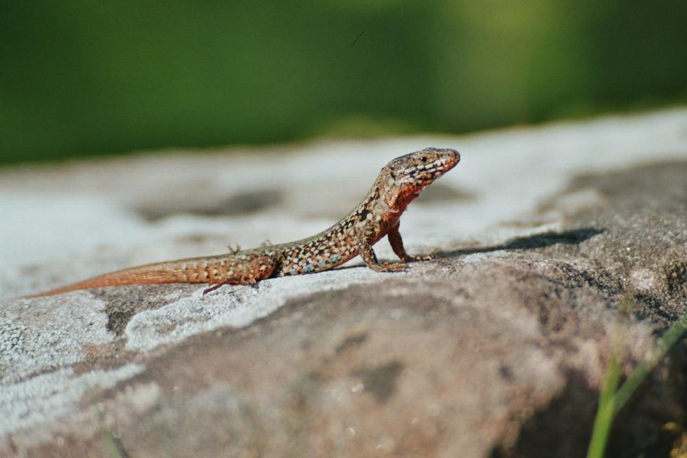 Anfänger Reptilien
