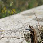 Eidechse lugt über Randstein