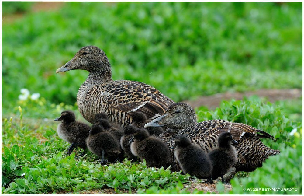 --- Eiderente Familie ---  ( Somateria mollissima )