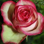 Eie Rose Verblüht
