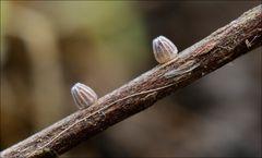 Eier Mittlerer Perlmutterfalter