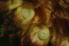 Eier vom Dunkler Wiesenknopf-Ameisenbläuling
