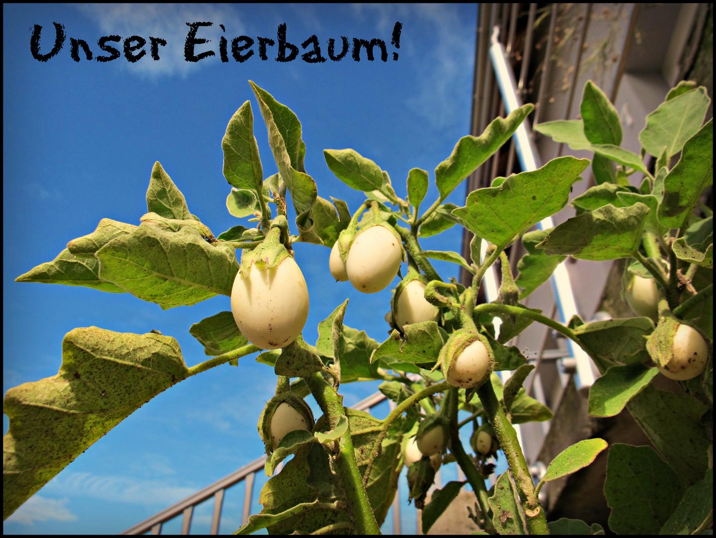 Eierbaum – Solanum melongena