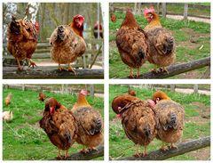 Eierproduzierende Helfer des Osterhasen