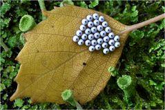 Eigelege vom Mondfleck (Phalera bucephala)