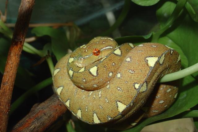 Eigene Nachzucht 2005 Morelia viridis