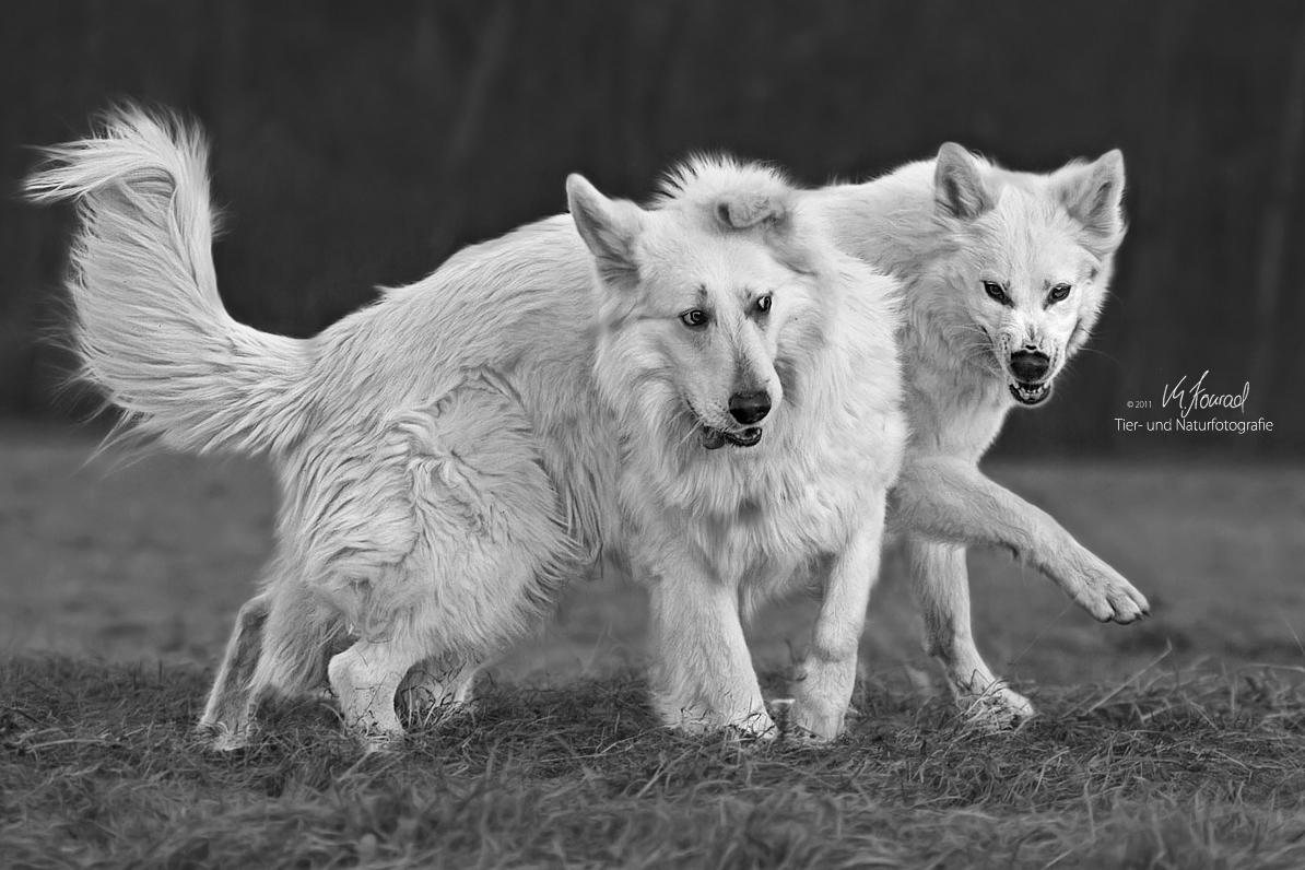 Eigentlich bin ich ein Wolf...