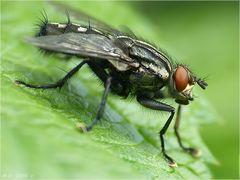 Eigentlich ist die Fliege ein natürliches Wunderwerk....