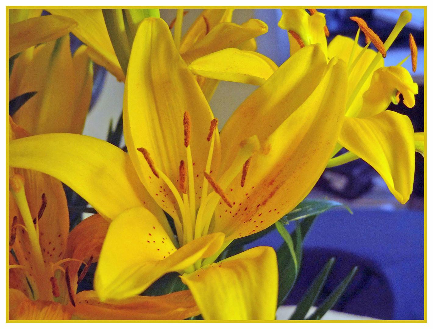 Eigentlich riechen mir lilien  zu stark - aber schön sind sie!
