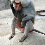 ein Affenmann hat's schon schwer...