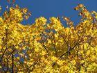 Ein Ahorn-Baum im Herbst
